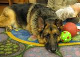 Photo of Dakota the dog with his toys at the library