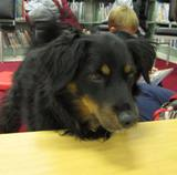 Photo of Happy the dog intensely interested at the library