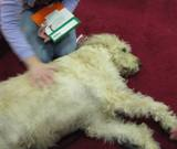 Photo of Harpo the dog lounging at the library
