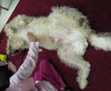 Photo of Harpo the dog getting a belly rub