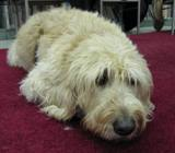 Photo of Harpo the dog resting in the library