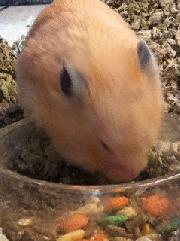 Picture of Lucky the Library Hamster