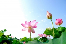 Photo of lotuses