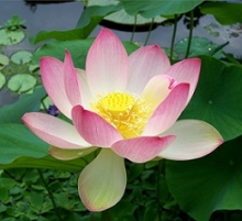 Photo of a lotus blossom