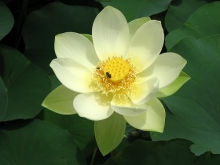 Photograph of a lotus blossom