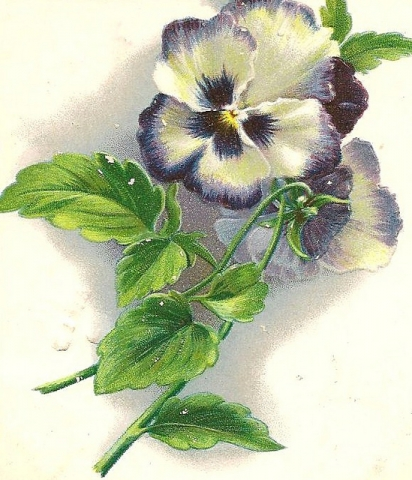 Pansy picture