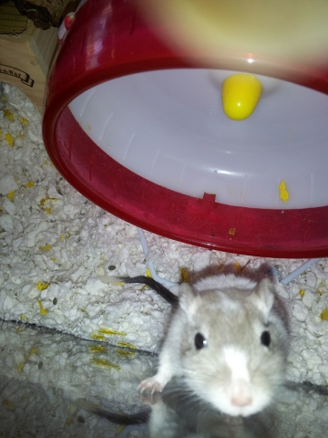 Salt the Library Gerbil