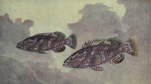 Picture of Japanese fish printing and link to the National Geographic