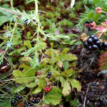 Image of berries and other edible plants.