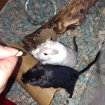Salt and Pepa, the library gerbils, begging for a Cheerio